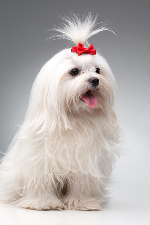 maltese dog: maltese dog with red bow on head