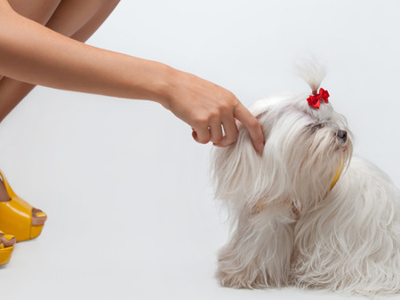 white maltese: Funny dog. Maltese dog with red bow on head Stock Photo