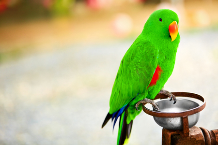 eclectus parrot: Birds, Animals. Closeup Portrait Of Bright Colorful  Green Solomon Island Eclectus Parrot. Travel To Thailand, Asia. Tourism.