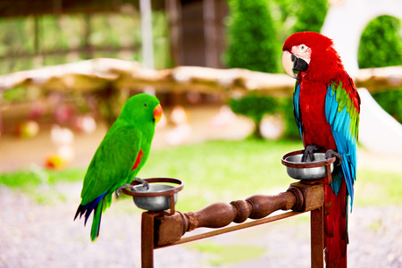 eclectus parrot: Birds, Animals. Closeup Portrait Of Bright Colorful Green-winged Red Scarlet Macaw Parrot And Beautiful Green Solomon Island Eclectus Parrot Sitting Together. Travel To Thailand, Asia. Tourism.