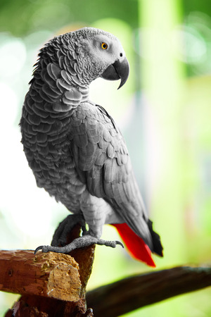 erithacus: Birds, Animals. Closeup Portrait Of African Grey Parrot ( Psittacus Erithacus ) Or Jako. Travel To Thailand, Asia. Tourism.