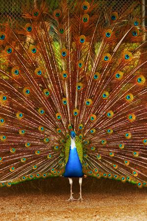 Aves de Tailandia. Detalle de la hermosa pavo real colorido brillante con las plumas hacia fuera. Animales de Asia. Viaje y Turismo.