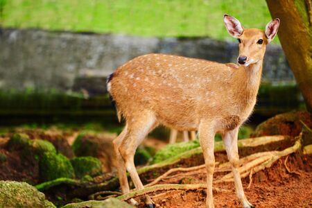asia deer: Animals. Closeup Portrait Of Beautiful Spotted Fallow Sika Deer Standing In The Zoo, Looking In Camera. Travel To Thailand, Asia Tourism.