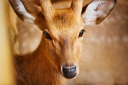 deer  spot: Animals. Closeup Head Portrait Of Beautiful Spotted Fallow Sika Deer In The Zoo, Looking In Camera. Travel To Thailand, Asia Tourism.