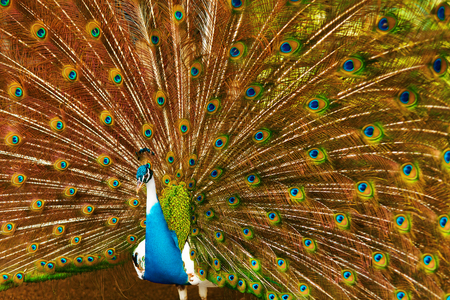 expanded: Birds, Animals. Closeup Portrait Of Bright Colorful Male Peacock With Expanded Feathers. Travel To Thailand, Asia. Tourism.