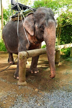 shri: Animals In Thailand. Thai Elephant With Rider Saddle In Elephant Camp. Travel Asia, Tourism.