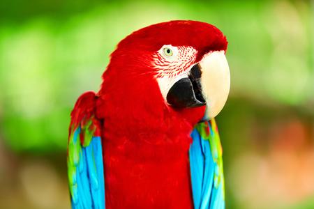 pajaros: Pájaros, Animales. Retrato Del Rojo Scarlet Macaw loro se sienta en rama de alas verdes colorido brillante. Viajar a Tailandia, Asia. Turismo. Foto de archivo