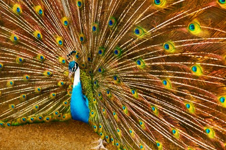 shri: Birds Of Thailand. Closeup Of Beautiful Bright Colorful Peacock With Feathers Out. Animals Of Asia. Travel And Tourism.