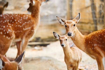 spotted: Animals. Closeup Portrait Of Beautiful Spotted Fallow Sika Deer Family In The Zoo, Looking In Camera. Travel To Thailand, Asia Tourism. Stock Photo