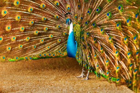 indian peafowl: Birds Of Thailand. Closeup Of Beautiful Bright Colorful Peacock With Feathers Out. Animals Of Asia. Travel And Tourism.