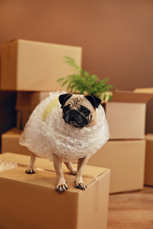 Moving House. Funny Dog On Carton Box In Room. High Resolution. Standard-Bild - 101271592