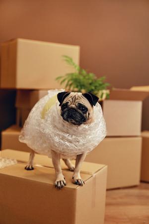 Umzug. Lustiger Hund auf Kartonbox im Zimmer. Hohe Auflösung.