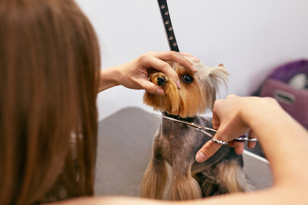 Dog Grooming At Pet Salon. Funny Dog Getting Haircut With Scissors Close Up. High Resolution Stock Photo