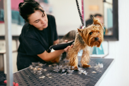 Pet Grooming Salon. Dog Getting Hair Cut By Woman Groomer At Animal Spa Salon. High Resolution Stock Photo