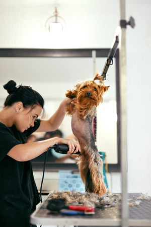 Pet Grooming Salon. Dog Getting Hair Cut By Woman Groomer At Animal Spa Salon. High Resolution