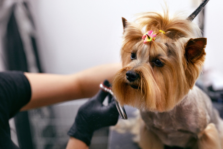 Dog Gets Hair Cut At Pet Spa Grooming Salon. Closeup Of Dog Face While Groomer Cutting Hair With Scissors. High Resolution Stock fotó - 108169417