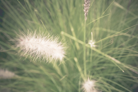 Soft focus Pennisetum: ornamental grass plumes  flowers background Stock Photo