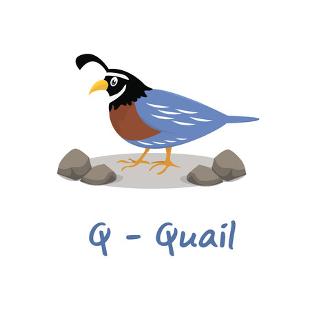 Isolated animal alphabet for the kids, Q for Quail