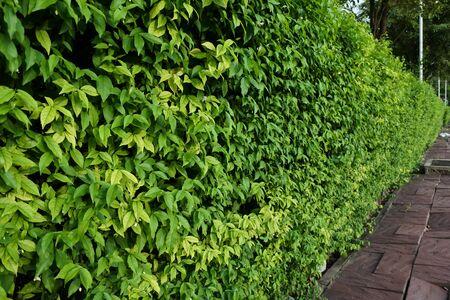 shrubbery: Ornamental shrubs ,Wall shrubs in outdoor