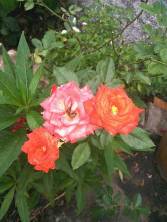 rosas rojas: Rosas rojas hojas verdes del �rbol crecieron Foto de archivo