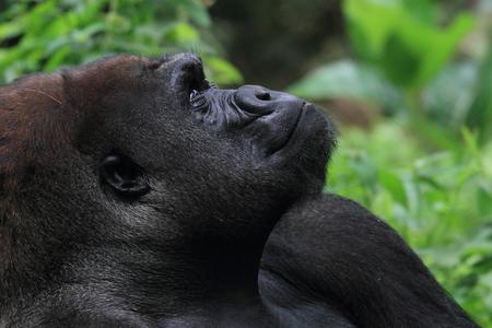 close up gorilla