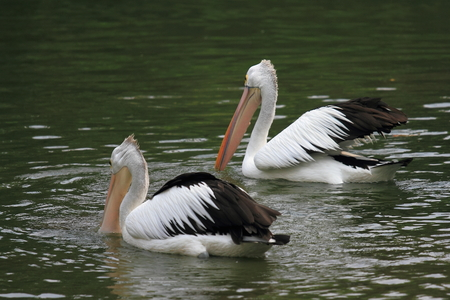Two pelicans swimming in the lake 免版税图像