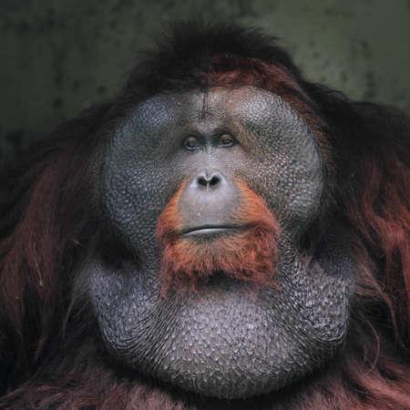 close up orang utan, wildlife photography 版權商用圖片