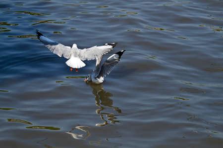 Seagull,flying seagulls Stock Photo - 13589329