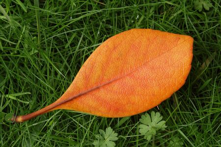 Bright orange leaf lying on green grass