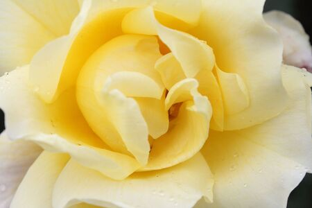 Closeup of white rose Stock Photo