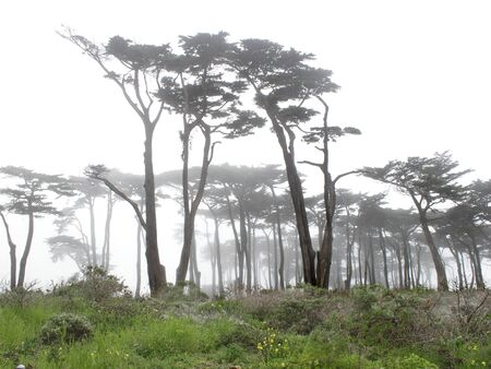 Trees in the fog with green grass on the foreground