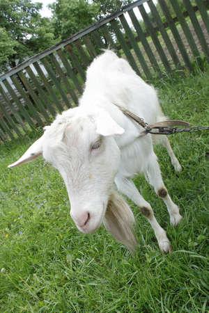 White nanny goat grazing on the green grass