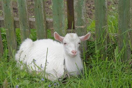 White goatling on the green grass