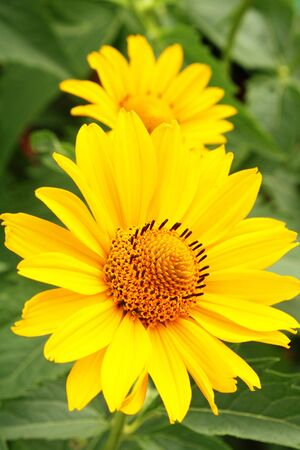Two yellow arnica flowers among green leaves in the garden