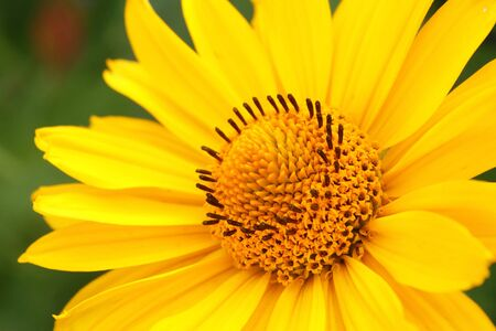 Closeup photo of yellow arnica flower in the garden Stock Photo