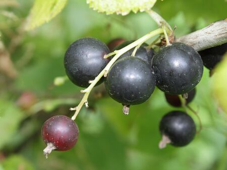 A cluster of ripe black currant in the garden Stock Photo