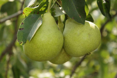 Three ripe pears in hanging on the branch in the garden