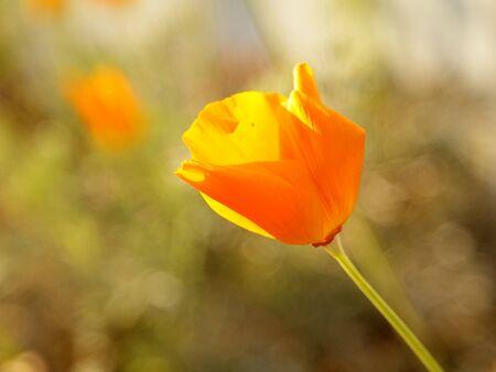 Closeup photo of single bright California Poppy