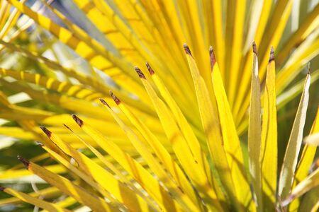 晴れた日の明るく黄色ヤシの葉、背景として良い