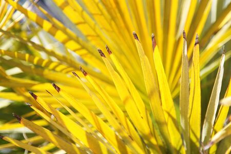 Bright yellow palm leaves on a sunny day, good as a background