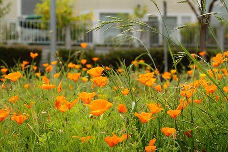A field of orange California poppies among grass Stock Photo