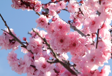 Pink flowers on blooming tree over blue sky