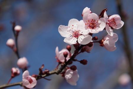 青色の背景に咲く木の枝 写真素材