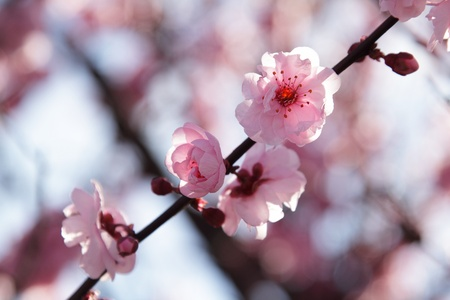 Pink flower on a branch of a blooming tree