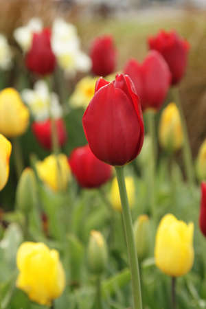 Red tulip in the garden among other flowers