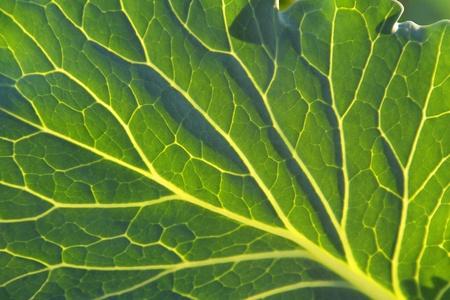 Cabbage leaf closeup