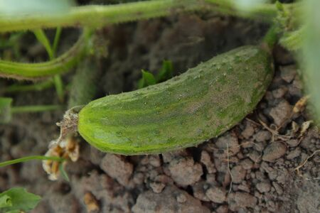 Cucumber on the ground