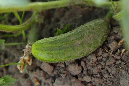 Cucumber on the ground
