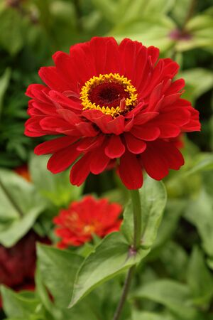 Closeup photo of bright red zinnia in the garden Stock Photo
