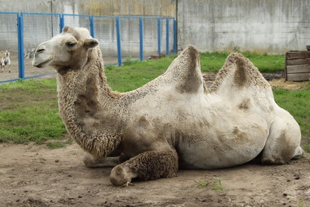 A camel in the zoo